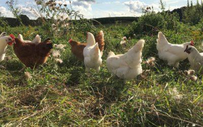 Ab sofort: Bio-Eier vom Zweinutzungshuhn
